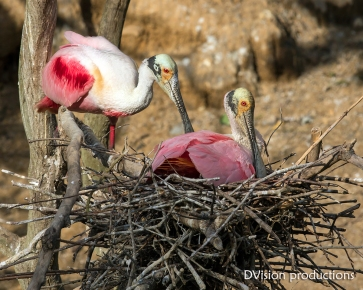 Roseate Spoonbills at the nest, Texas.