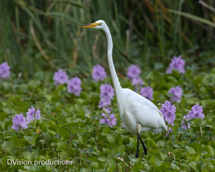 Great Egret in the flowers, Texas.