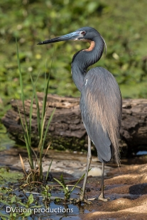 Tri-colored Heron, Texas.