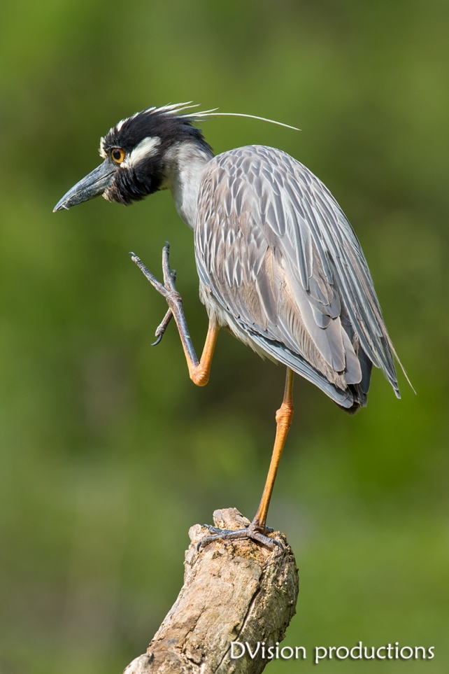 Yellow-crowned Night Heron, Texas.