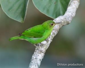 Green Honeycreeper, Panama.