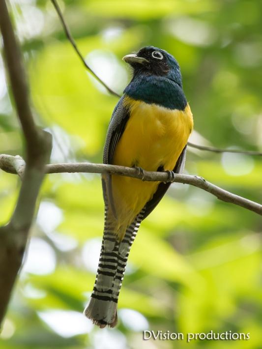 Black-throated Trogon, Panama.