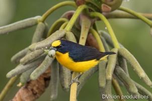 Thick-billed Euphonia, Panama.