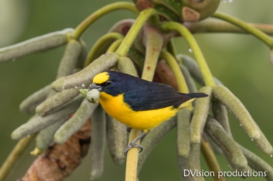 Thick-billed Euphonia, Panama.