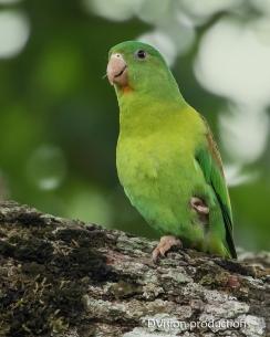 Orange-chinned Parakeet, Panama.