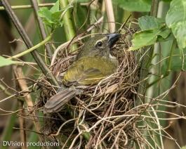 Streaked Saltator on the nest, Panama.