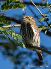 Ferruginous Pygmy Owl, Mismaloya Mexico.