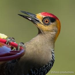 Golden-cheeked Woodpecker raiding the hummingbird feeder, Mismaloya Mexico.