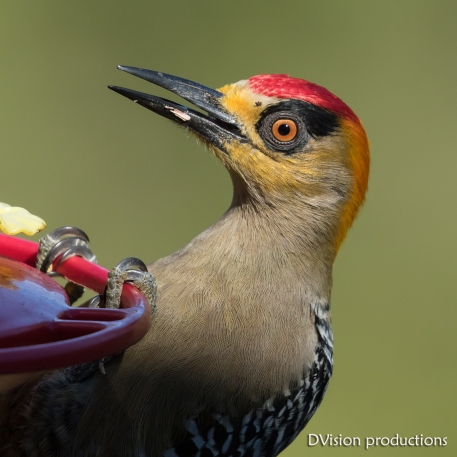 Golden-cheeked Woodpecker raiding the hummingbird feeder, Mismaloya Mexico.