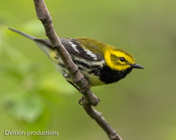 Black-throated Green Warbler, Magee Marsh OH.