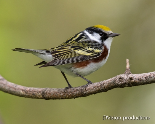 Chestnut-sided Warbler, Magee Marsh OH.