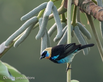 Golden-hooded Tanager, Panama.