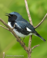 Black-throated Blue Warbler, Magee Marsh OH.