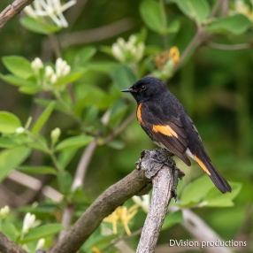 American Redstart male, Magee Marsh OH.