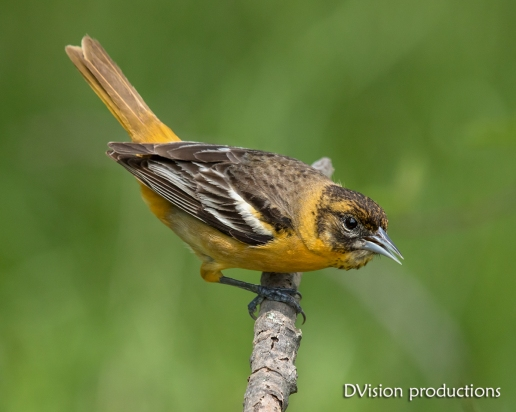 Baltimore Oriole juvenile, Magee Marsh OH.