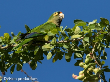 Orange-fronted Parakeet, Mismaloya Mexico.