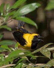 Yellow-tailed Oriole, Panama.
