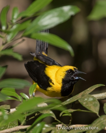 Yellow-tailed Oriole, Panama.