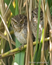 Tropical Screech Owls, Panama.