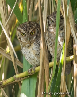 Tropical Screech Owls, Panama.
