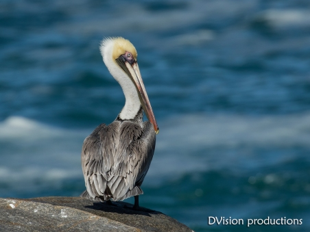 Brown Pelican on a rocky point, Mismaloya Mexico.