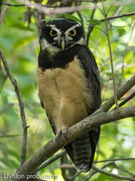 Spectacled Owl, Panama.