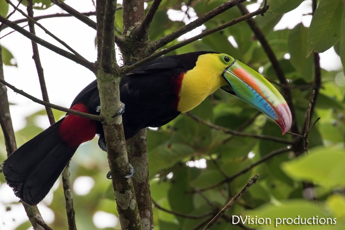 Keel-billed Toucan, Panama.