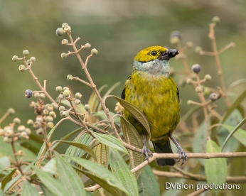 Silver-throated Tanager eating a berry, Panama.