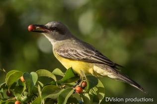 Tropical Kingbird snags a berry, Mismaloya Mexico.