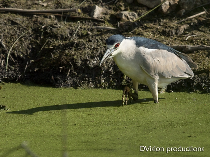 Black-crowned Night Heron, Magee Marsh OH.