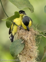 Tody Flycatchers building a nest, Panama.
