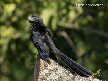 Groove-billed Ani, Mismaloya Mexico.