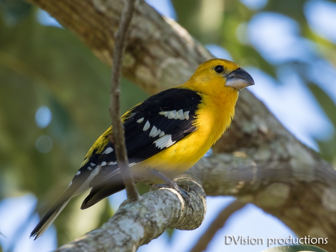 Yellow Grosbeak, Mismaloya Mexico.