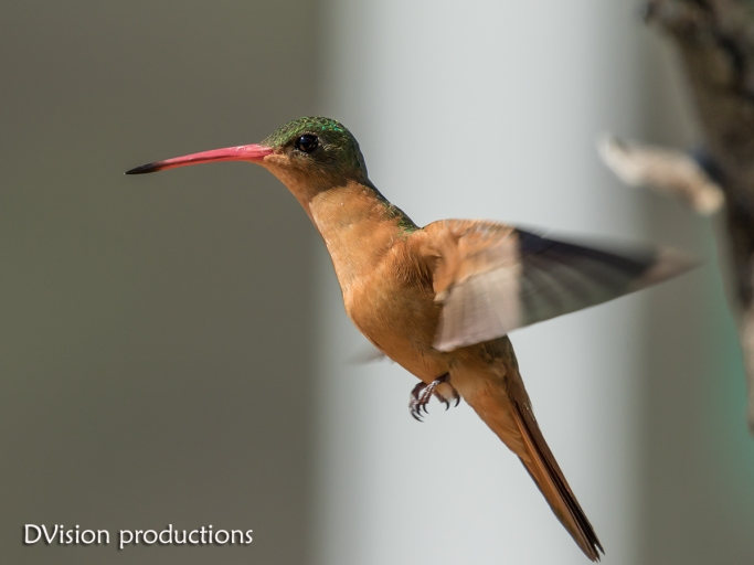 Cinnamon Hummingbird, Mismaloya Mexico.