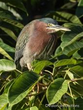 Green Heron on the hunt, Mismaloya Mexico.