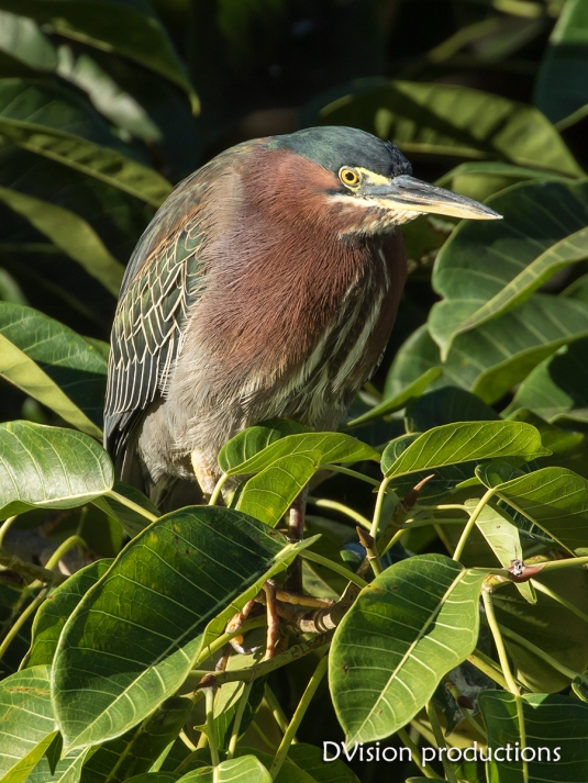 Green Heron on the hunt, Mismaloya Mexico.