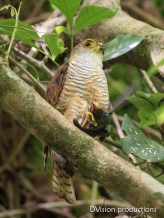 Tiny Hawk with hummingbird prey, Panama.