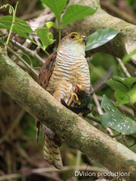 Tiny Hawk with hummingbird prey, Panama.