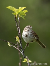Song Sparrow, Boulder CO.