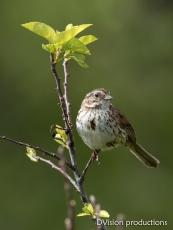Song Sparrow, Boulder CO.