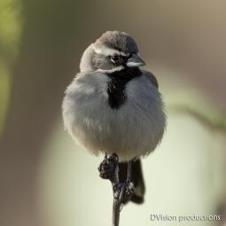 Black-throated Sparrow, Joshua Tree NP.