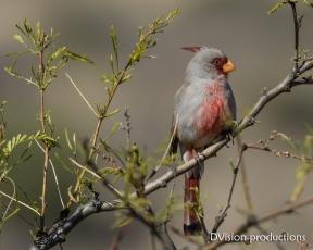 Pyrrhuloxia male, Arizona.
