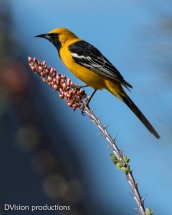 Hooded Oriole on an Ocatillo bloom, Arizona.