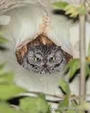 Western Screech Owl, Arizona.