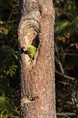 Military Macaw in nesting cavity, Mismaloya Mexico.