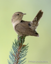 House Wren taking a break from the kids, Boulder CO.