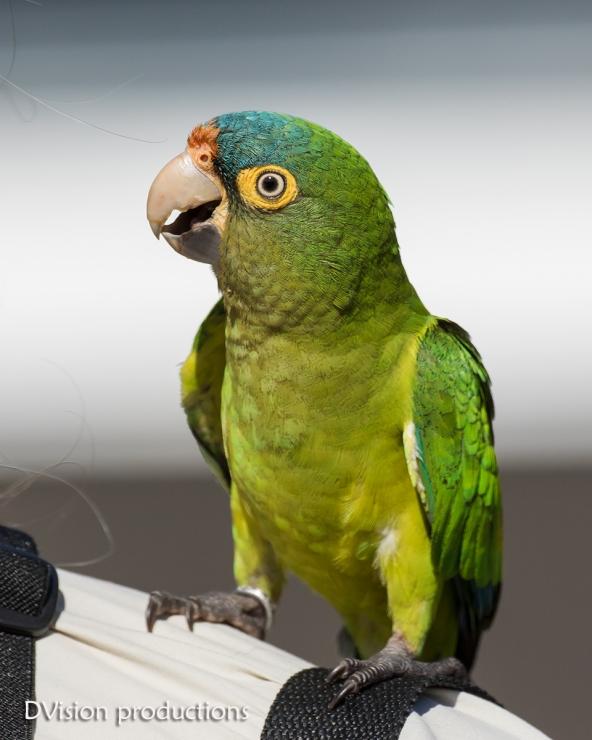Orange-fronted Parakeet getting friendly, Mismaloya Mexico.