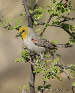 Verdin gathering insect snacks, Arizona.