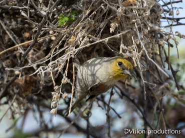 Verdin exiting the nest, Arizona.