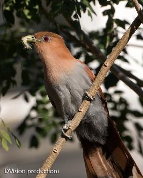 Squirrel Cuckoo with a caterpillar breakfast, Mismaloya Mexico.